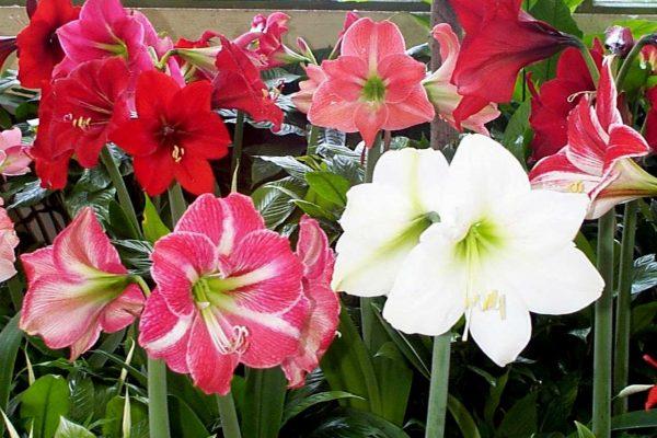 почему не цветет гиппеаструм
