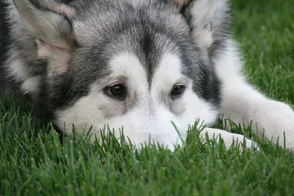 как достать клеща у собаки